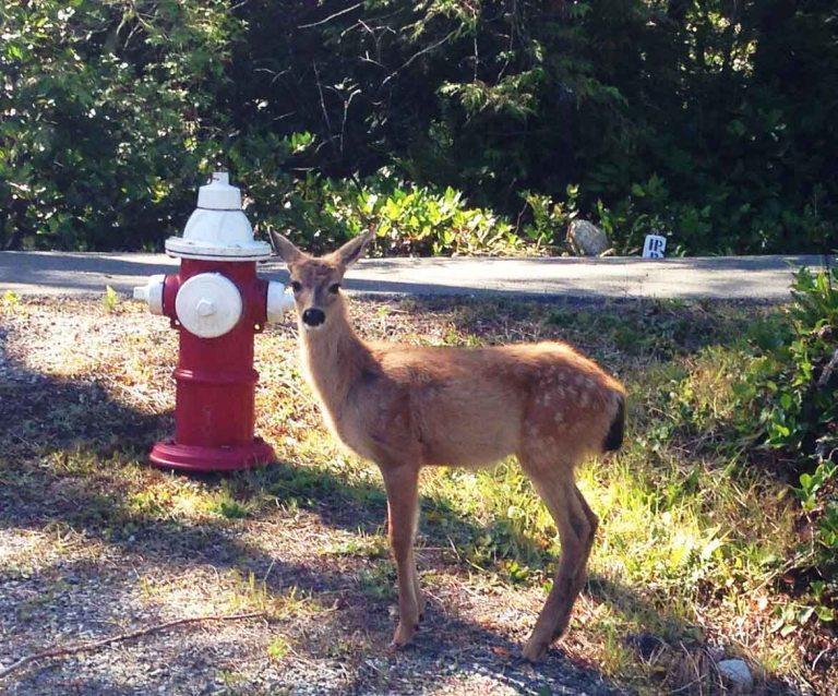 Tofino deer