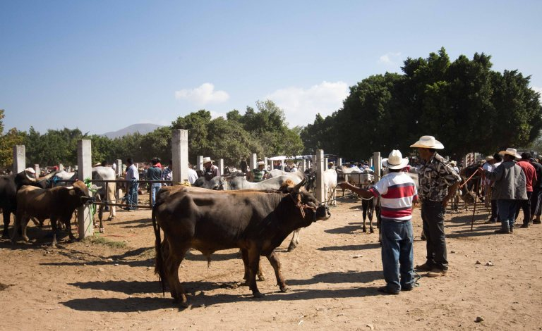 ocotlan-cows