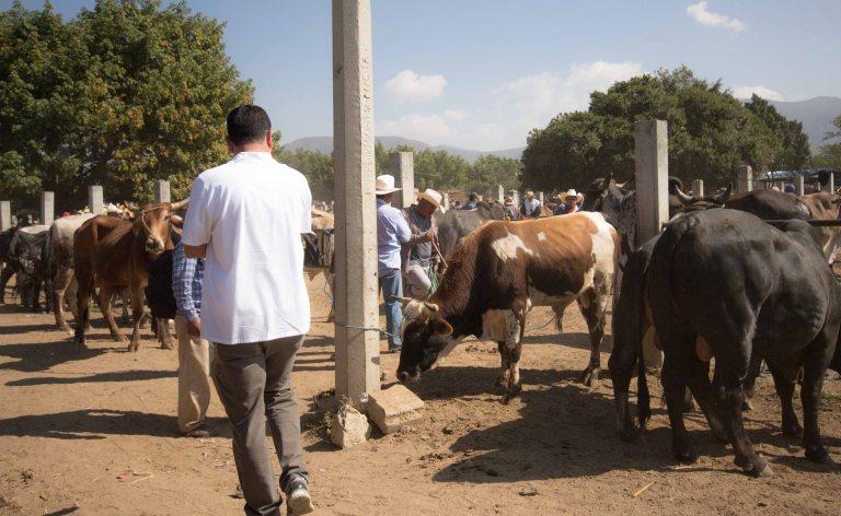 rodo-ocotlan-cows