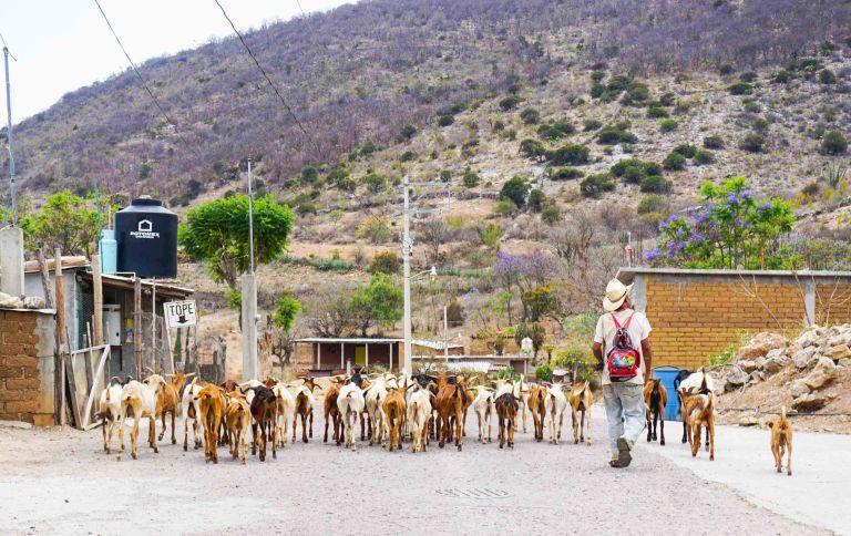 Oaxaca goats Oaxacking.jpg