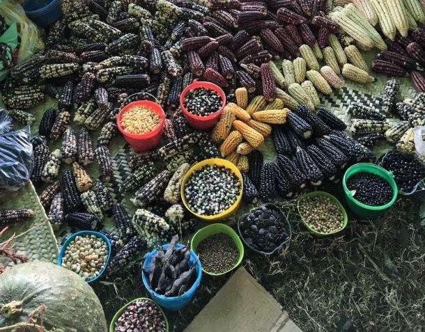 Agrobiodiversity Fair corn