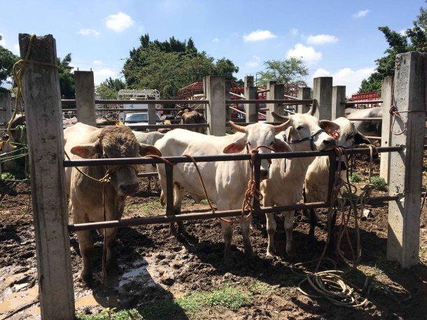 Baratillo Ocotlan Oaxaca cows
