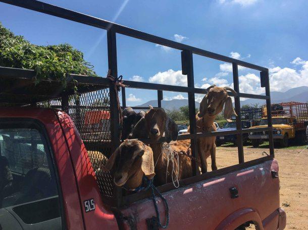 Baratillo Ocotlan Oaxaca goat