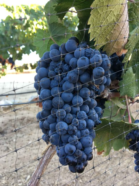 ATP Guadalupe Valley grapes